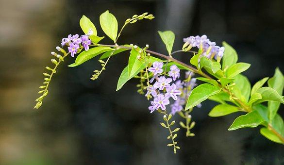 Golden Dewdrop, Pigeon Berry, Flower, Nature, Flora