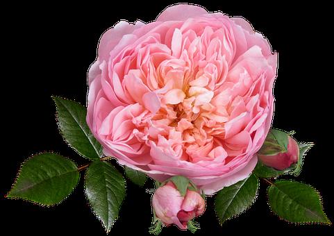 Rose, Flower, Autumn Bloom, Garden, Plant