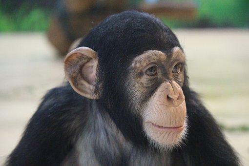 Primates, Monkey, Ape, Portrait
