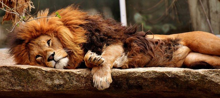 Lion, Predator, Sleep, Dangerous, Mane, Cat, Male, Zoo