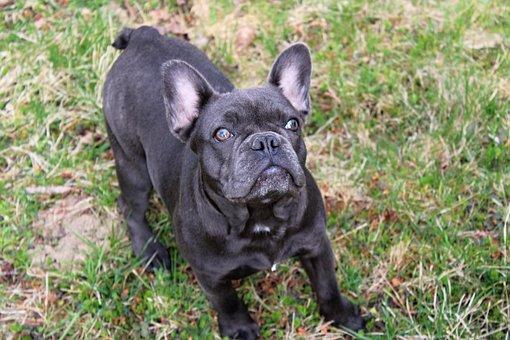 Dog, French Bulldog, Puppy, Pet