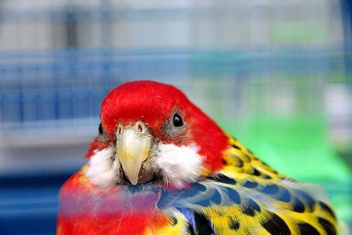 Rosella, Platycercus Eximius, Parrot, Bird, Pen