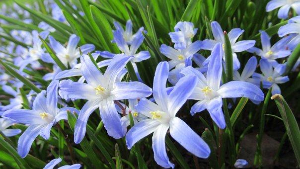 Star Hyacinth, Spring, Flower, Flora, Garden, Blossom