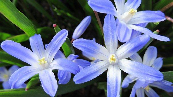 Star Hyacinth, Flower, Flora, Spring