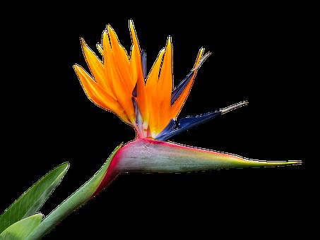 Caudata, Strelitzia, Bird Of Paradise Flower, Isolated