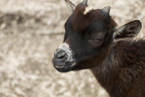 Goat, Chick, Kozliatko, The Zoo, Animal, Horns, Chicks