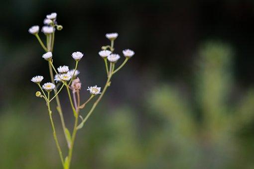 Flower, Nature, Flora, Summer, Outdoors, Tiny Daisies