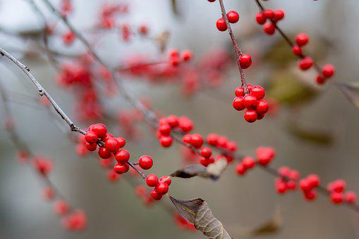 Nature, Branch, Winter, Tree, Outdoors, Berries, Xmas