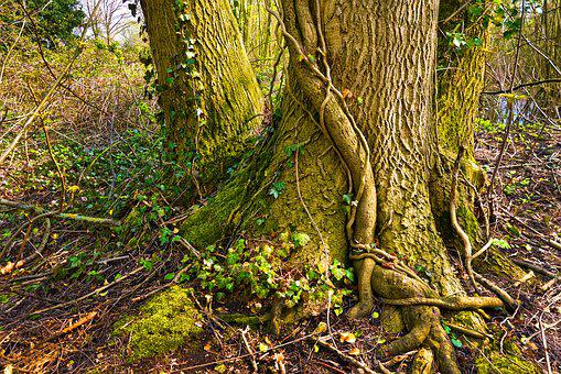 Tree-trunk, Tree-root, Tree, Ivy, Vine, Creeper
