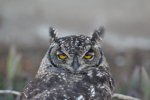 Nature, Wildlife, Outdoors, Bird, Owl