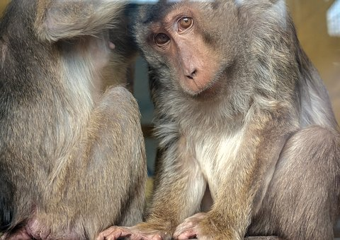 Monkey, Mammal, Primate, Animal, äffchen
