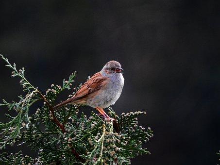 Dunnock, Bird, Nature, Animal World, Animal, Tree