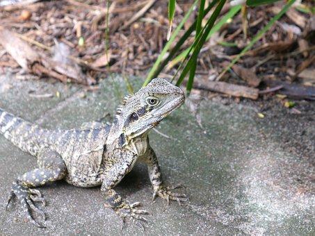Lizard, Nature, Reptile, Animal, Wildlife, Creature