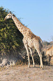 Nature, Wildlife, Animal, Giraffe, Wild, Mammal, Safari