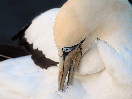 Cape Gannet Preening, Bird, Avian, Gannet, White