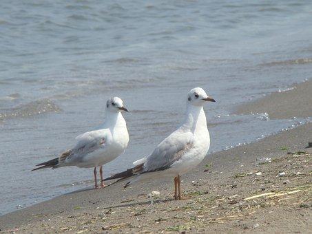 Birds, Seagull, Body Of Water, Marine, Nature, Beach