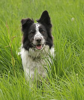Grass, Animal, Dog, Mammal, Border Collie, Black, White