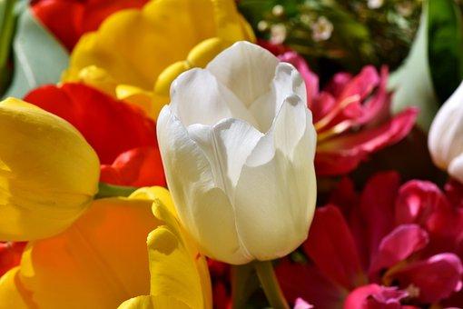 Tulip, Tulpenbluete, Blossom, Bloom, Flower