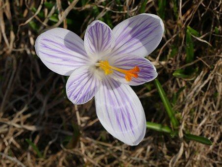 Nature, Macro, Crocus, Spring, Gentle, Flower, Bloom