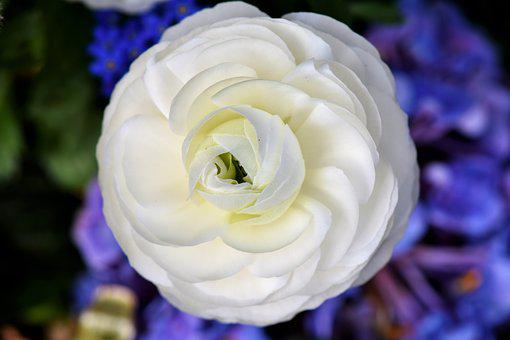 Ranunculus, Ranunculus Flower, Blossom, Bloom
