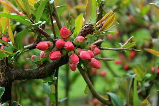 Bush, The Buds, Spring, April, Ornamental Shrubs, Boost