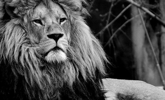 Lion, Predator, Black And White, Dangerous, Mane, Cat