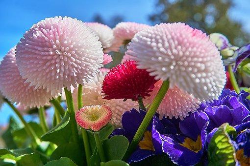 Daisy, Bellis Philosophy, Flower, Pink, Red, White