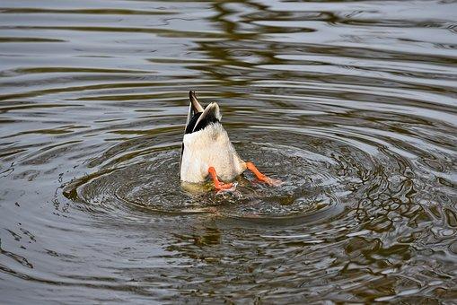 Duck, Mallard, Drake, Bird, Water Bird, Wildlife, Water
