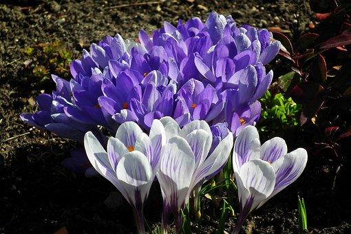 Flower, Crocus, Nature, Plant, Garden, Blooming, Spring