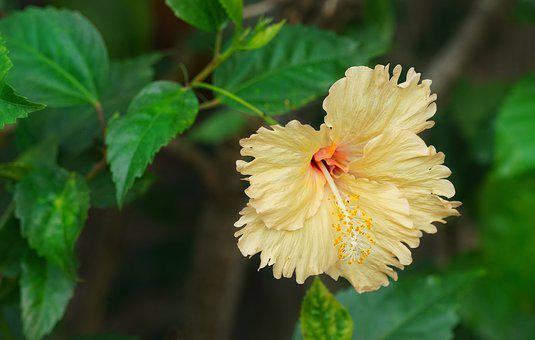 Yellow Hibiscus, Tropical Hibiscus, Flora, Leaf, Flower