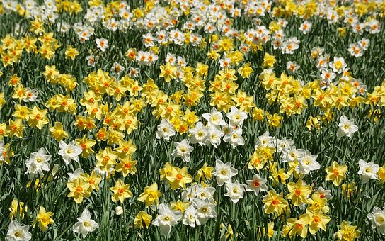 Daffodils, Flowers, Yellow, White, Many, Flower, Nature