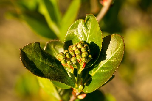 Leaf, Nature, Plant, Growth, Aronia, Chokeberry
