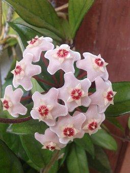 Porcelainflower, Wax Plant, Hoya Carnosa, Flower