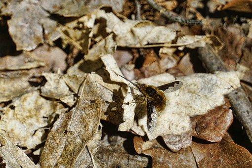 Nature, Animal, Insect, Bombyliidae