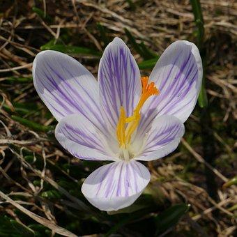 Flower, Nature, Macro, Crocus, Spring, Delicate Flower
