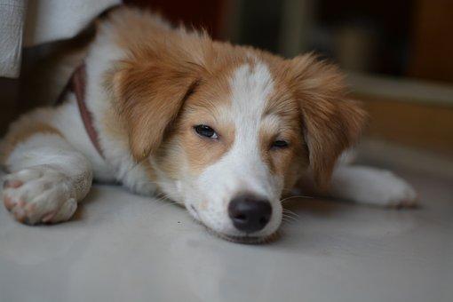 Dog, Canine, Pet, Mammal, Puppy, Cute, Retriever, Fur