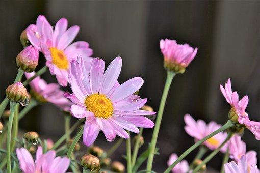 Flower, Nature, Plant, Summer, Petal, Raindrop, Daisies