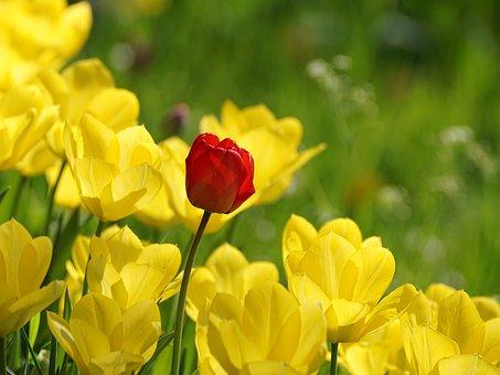 Tulip, Red, Tulips, Yellow, Individually, Nature