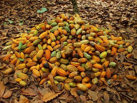 Cocoa, Pará, Agriculture