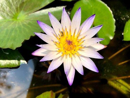 Pond, Lotus, Flower, Foliage, Plant