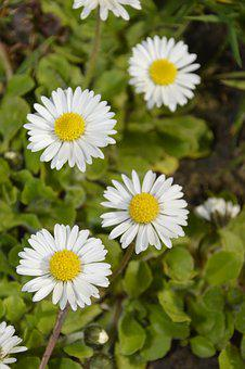 Nature, Plant, Flower, Summer, Garden, Marguerite