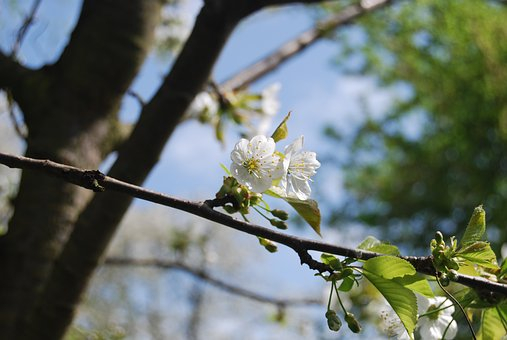 Tree, Nature, Branch, Plant, Flower, Cherry Wood
