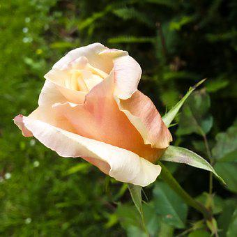 Flower, Nature, Petal, Rose, Summer, Single