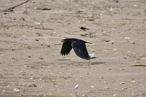 Animal, Sea, Beach, Bird, Wild Birds, Crow, Feathers