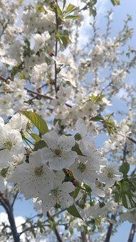 Tree, Branch, Flower, Cherry, Season, Nature