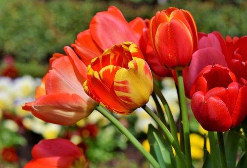 Tulip, Tulip Bouquet, Blossom, Bloom, Spring Flowers