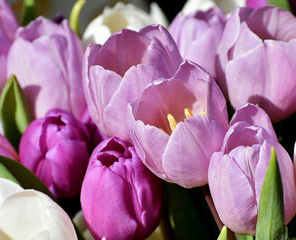 Tulips, Purple, Spring, Flowers, Close, Violet