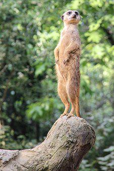 Nature, Animal World, Meerkat, Upright, Vigilant, Zoo