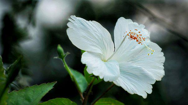 Chinese Hibiscus, White Hibiscus, Flower, Nature, Flora