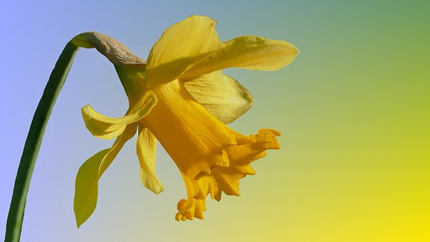 Narcissus, Narcissus Pseudonarcissus, Yellow, Flower